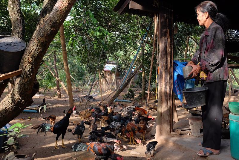 Wan feeding the chickens, Hot, Thailand