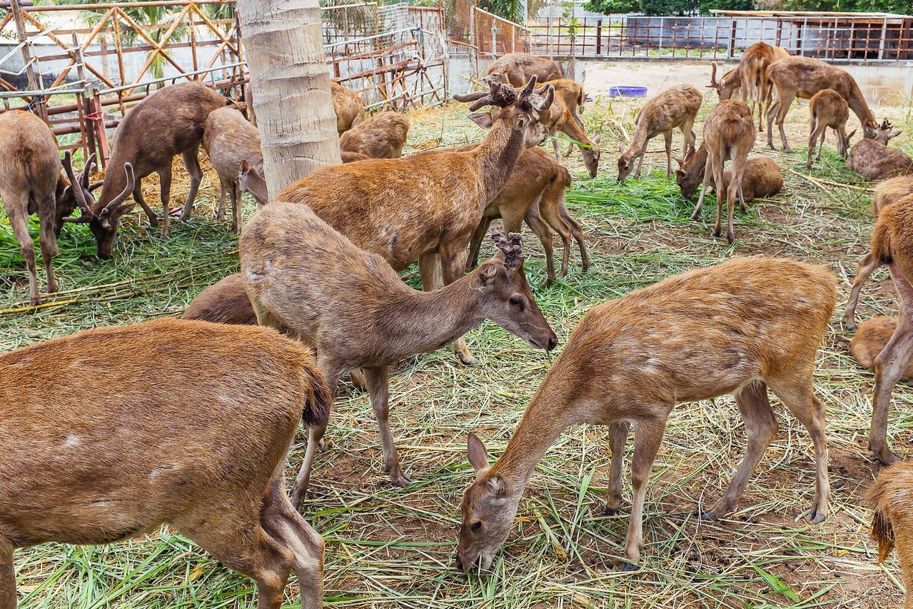 Deer in Thailand...hmmmm