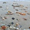 Fresh shells