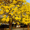 Great yellow trees