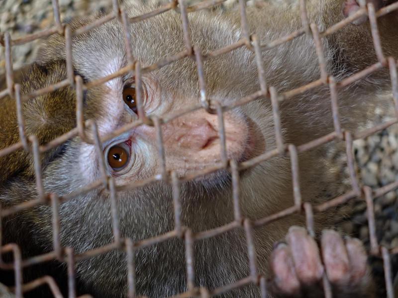 Chompoo monkey 1