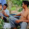 Lamyai farmers