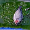 The last fish, Bo Sang market