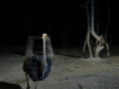 Approaching ostrich