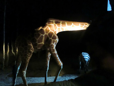 Giraffe, zebra and onlooker