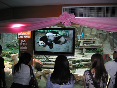 Baby Panda feeding