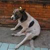 Happy temple dog