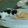 Thai cat friends