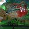 Bulbous headed fish