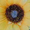 Sunflower center-artificial