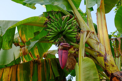 Nice bananas and flower