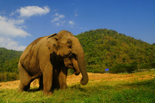 Magnificent Asian elephants on a gorgeous day in Chiang Mai, Thailand at Elephant Nature Park