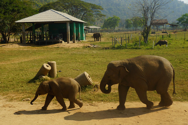 Baby elephant leading the way at Elephant Nature Park in Chiang Mai, Thailand