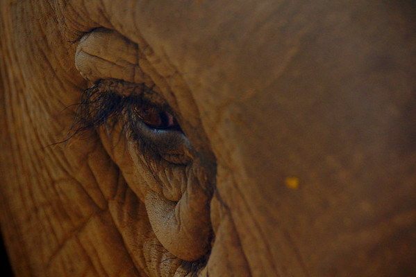 A close-up shot of an elephant's eye at the ENP in Chiang Mai, Thailand