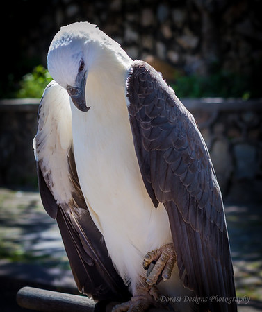 Eagle in captivity