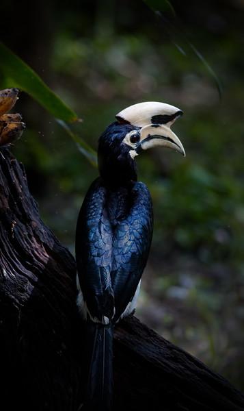 Oriental Pied Hornbill - Thailand Kaeng Krachan May 2018
