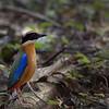 Blue Winged Pitta - Thailand, Kaeng Krachan, May 2018