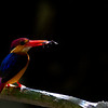 Blac-backed Oriental Dwarf Kingfisher - Thailand Kaeng Krachan May 2018