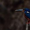 Common Kingfisher - Thailand, Kaeng Krachan, May 2018