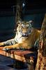 Tiger Kingdom Maerim, Chaing Mai, Thailand, 26 March 2012.