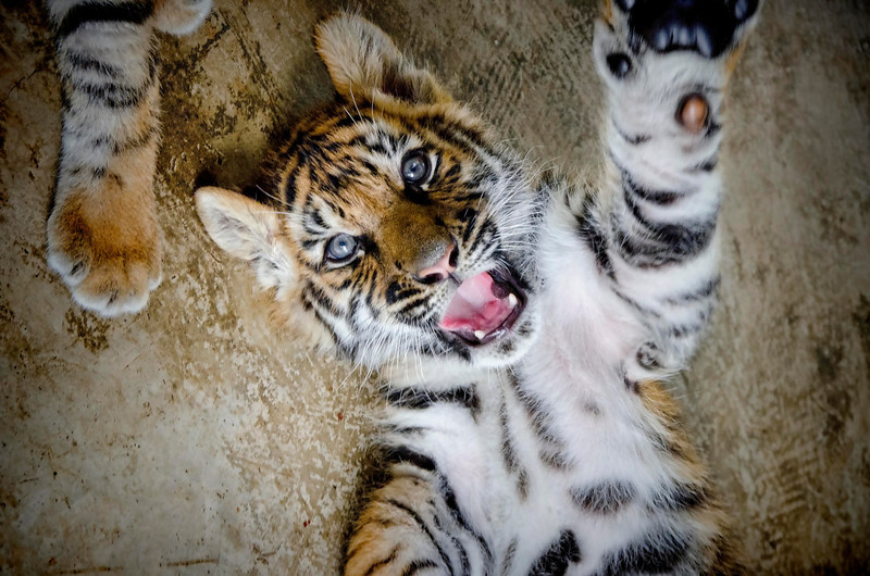 Tiger cub at Tiger Kingdom Maerim, Chaing Mai, Thailand, 26 March 2012.