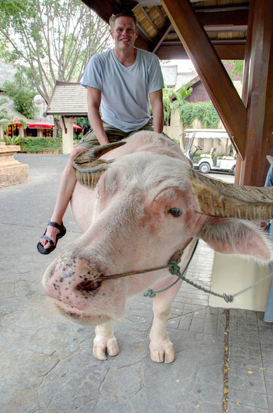 Matt Mills and albino water buffalo. Four Seasons Resort, Chaing Mai, Thailand, 26 March 2012. (Oscar Raymundo photo).