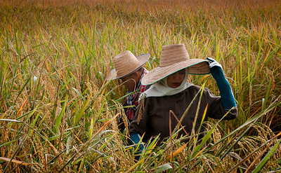 Rice harvest, Chiang Mai