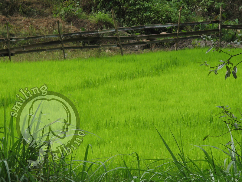 A gorgeous rice field in a valley at Doi Mae Salong.