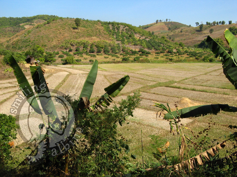 Gorgeous rice field about 15km from Chiang Rai city