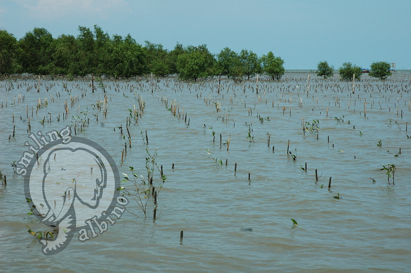 Posts with small mangroves tied to them - about 80% make it