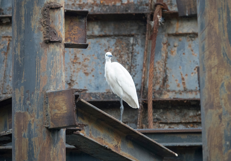 White bird of the Klongs