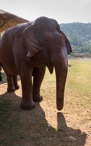 Older Elephant