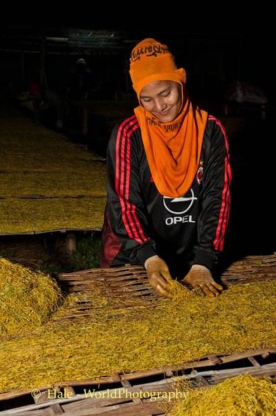 Placing shredded tobacco out to dry
