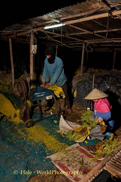 Thai tobacco workers