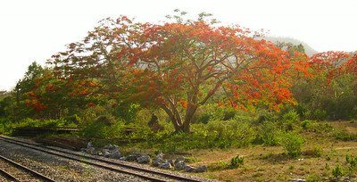 Flame tree--somewhere in northern Thailand
