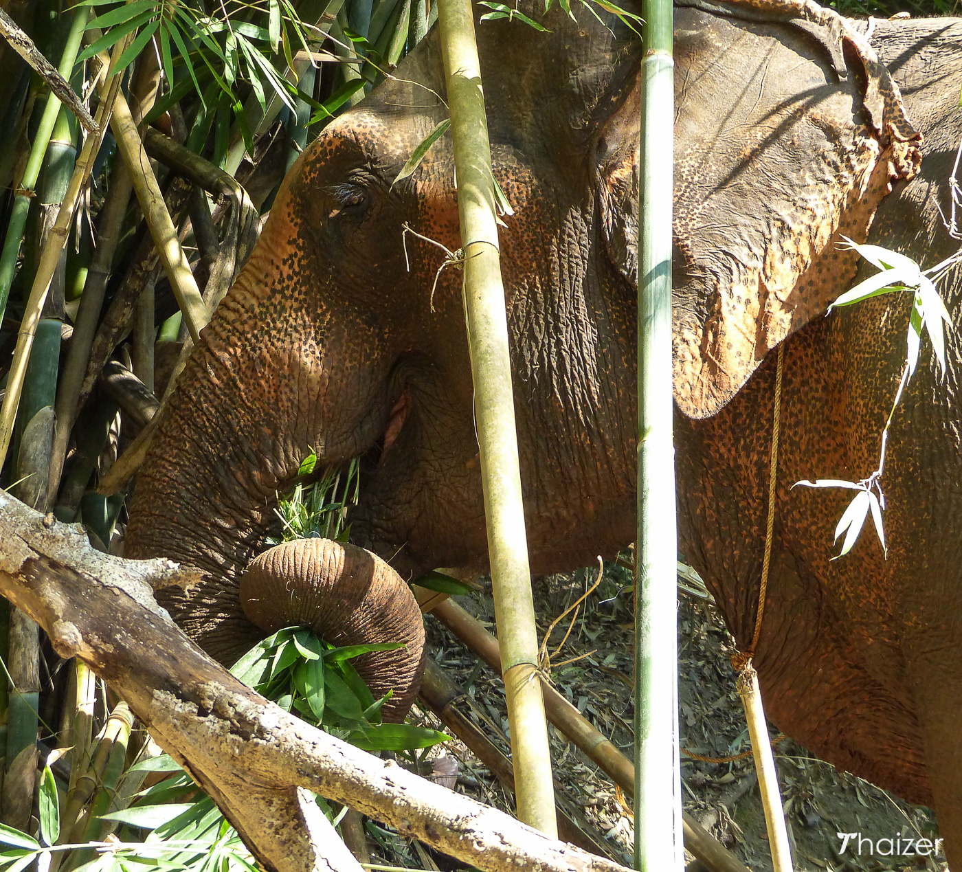 elephant eating bamboo