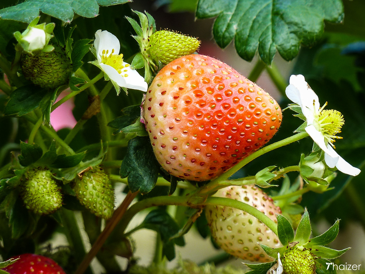 strawberries at Khun Wang
