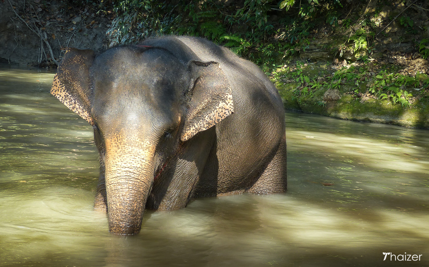elephant bathes in the river at Tong Bai Foundation, Chiang Mai, Thailand