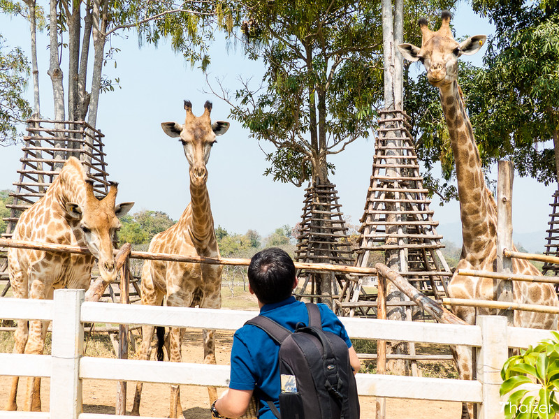 feeding the giraffes at Boon Rawd Farm, Chiang Rai