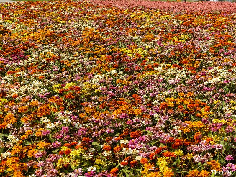 flowers in bloom at Singha Park, Chiang Rai