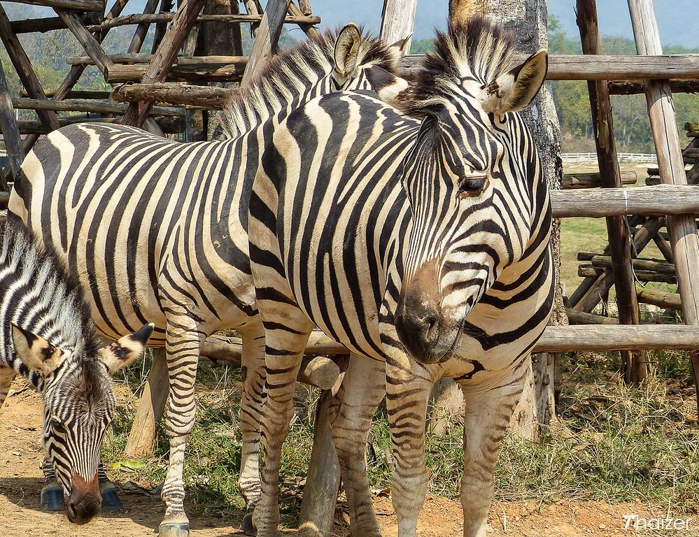 zebras at Singha Park, Chiang Rai