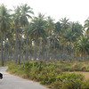 Backroads through coconut palm plantations