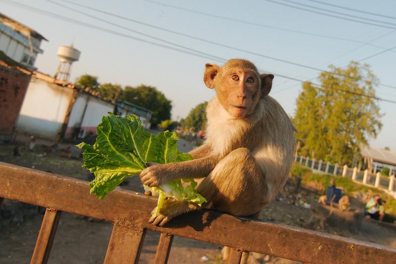 At a feeding frenzy outside Prang Sam Yot Temple