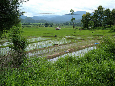 Newly p;anted rice fields