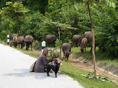 All along the roads, a single man or woman watches the buffalo or cows