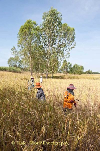 Isaan Rice Harvest
