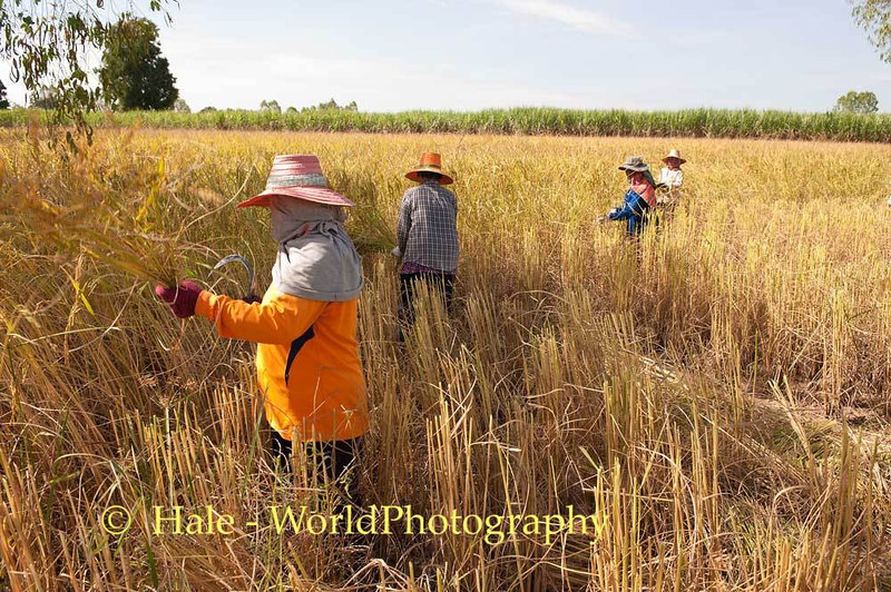 Ethnic Lao Harvest Rice In Isaan