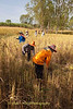 Isaan 2013 Rice Harvest : Manual harvesting of sticky rice in Northeast Thailand near the Lao border