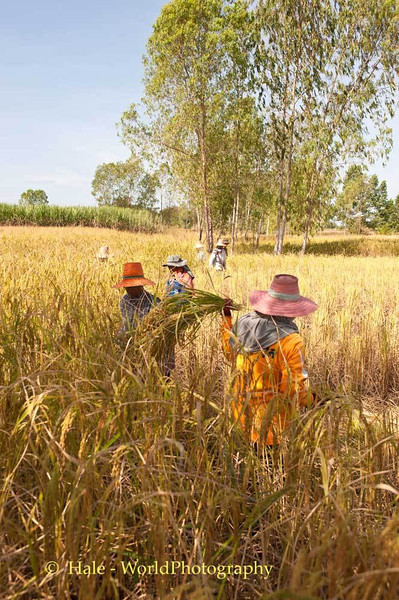 Manual Labor - Lao Loum Farmers Harvest Rice