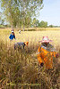 Lao Loum Farmers Harvest Rice By Hand In Isaan